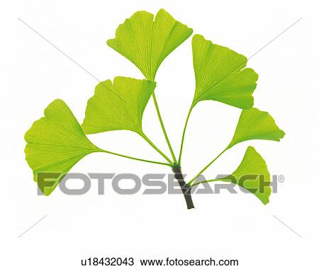 stock photo of several green ginkgo leaves on a white surface high