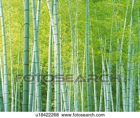 Several Bamboo Trees Lined Up Next To Each Other Front View Stock