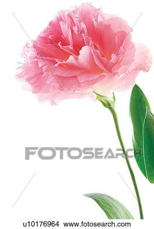 Banque De Photo Fleurs Printemps Tulipe Tete Fleur Ouvert