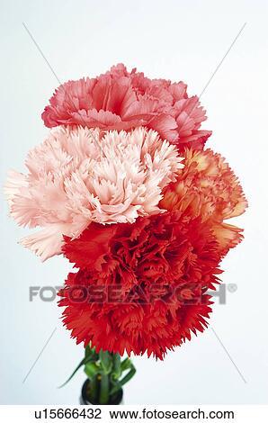 Top Blume, blumen, natur, pflanze, betriebe, nelke, nelken Stock Bild @CX_11
