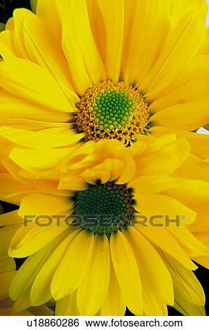 Fleur Fleurs Nature Plante Paquerette Paquerettes Jaune Banque