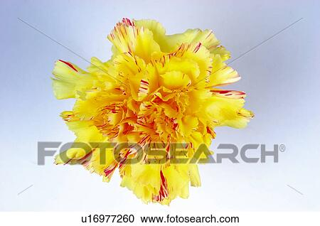 Stock photography of flower nature plant carnation yellow flower nature plant carnation yellow carnation yellow one mightylinksfo