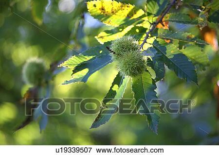 Igelfrucht