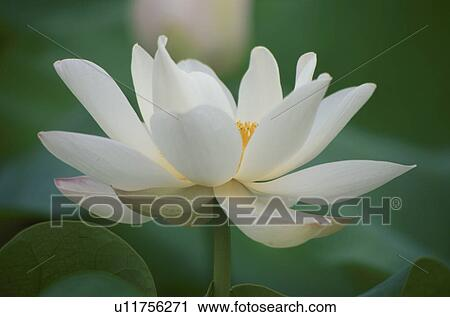 Stock photography of white lotus flower u11756271 search stock stock photography white lotus flower fotosearch search stock photos pictures prints mightylinksfo
