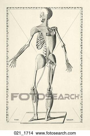 Drawings of Antique Anatomical Illustration (copper engraving) of a ...