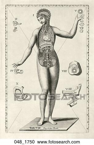 Stock Illustrations of Antique Anatomical Illustration (engraving ...