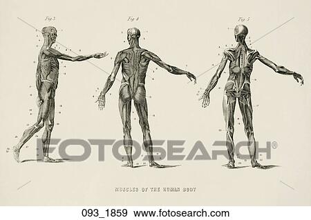 Stock illustration of antique anatomical illustration wood antique anatomical illustration wood engraving of three figures showing muscles of the human body drawn after albinus 1859 ccuart Image collections