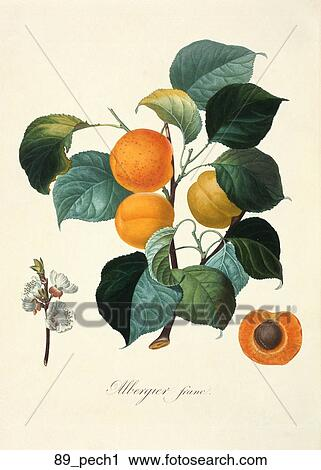 Antique Botanical Illustration Of A Peach Tree Color Printed And Hand Finished Stipple Engraving 1846