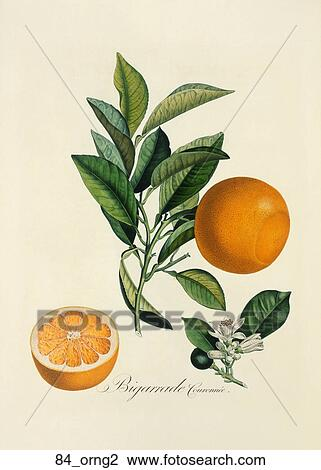 Antique Botanical Illustration Of Orange Tree Color Printed And Hand Finished Stipple Engraving 1846