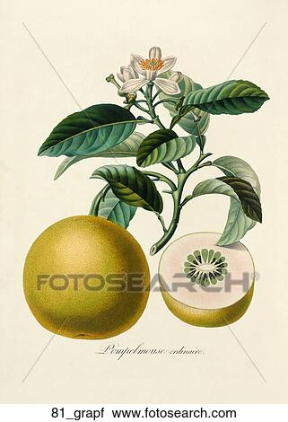 Antique Botanical Illustration Of Grapefruit Color Printed And Hand Finished Stipple Engraving 1846