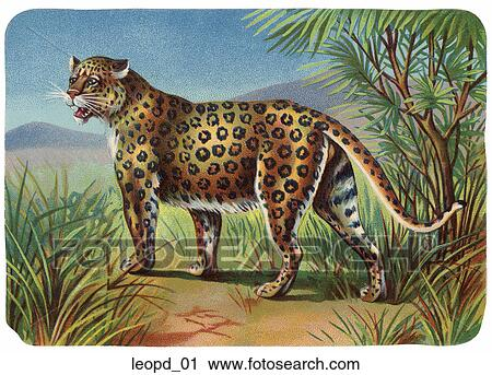 Clipart Of Vintage Illustration Of A Leopard Leopd01 Search Clip