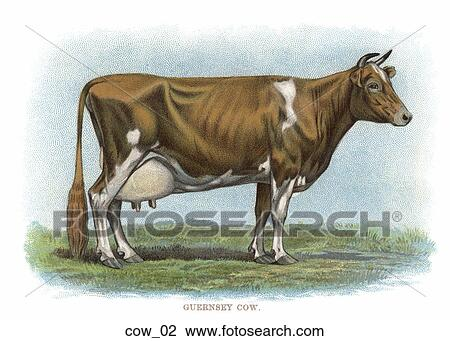 Vintage Illustration Of Dairy Cow Guernsey