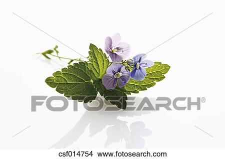 Stock Photo Of Veronica Flower On White Background Close Up