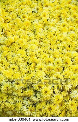 Stock photography of india mysore yellow flowers at market india mysore yellow flowers at market mightylinksfo