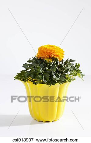 Picture of potted plant of yellow buttercup flowers on white picture potted plant of yellow buttercup flowers on white background close up fotosearch mightylinksfo