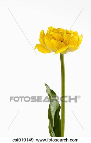 Stock Fotograf - gelbe tulpe, blume, gegen, weißer hintergrund ...