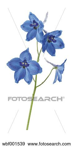 Stock photograph of larkspur flowers against white background close larkspur flowers against white background close up mightylinksfo