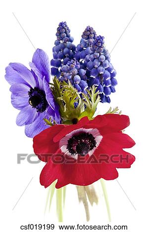 Stock photograph of poppy anemone flowers and grape hyacinth against poppy anemone flowers and grape hyacinth against white background close up mightylinksfo