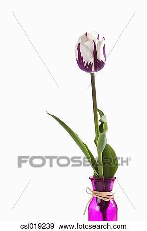 Banque De Photographies Violet Et Tulipe Blanche Fleur Contre