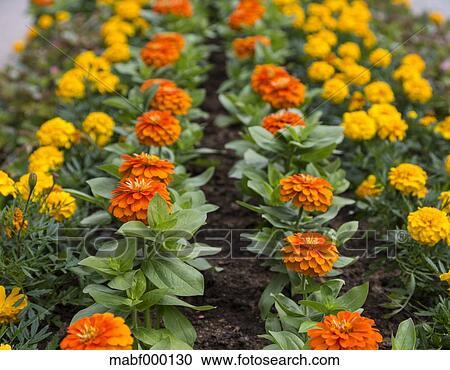 Deutschland Baden Wuerttemberg Tagetes Blumen An Schwarzwald