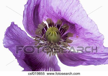 Stock image of opium poppy flower against white background close up opium poppy flower against white background close up mightylinksfo