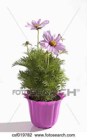 Stock Foto - topfpflanze, von, kosmos, blumen, weiß, hintergrund ...
