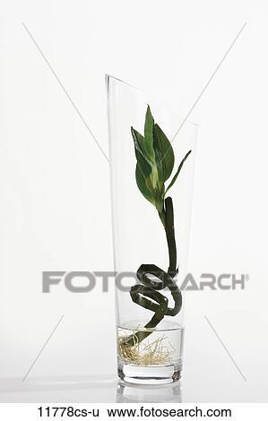 Stock Images Of Lucky Bamboo Dracaena Sanderiana In Flower Vase