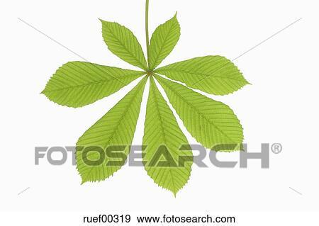 Horse Chestnut Leaf Aesculus Hippocastanum Close Up Stock Photo Ruef00319 Fotosearch