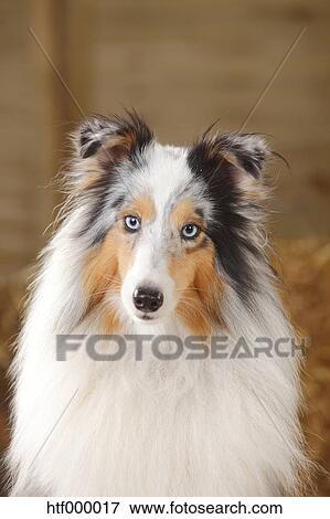 Blue Merle Sheltie Shetland Sheepdog