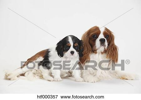 Cavalier King Charles Spaniel Male And