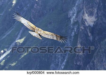 ピクチャー - 南アメリカ, ペルー, アンデス山脈コンドル, vultur gryphus, 飛行. Fotosearch