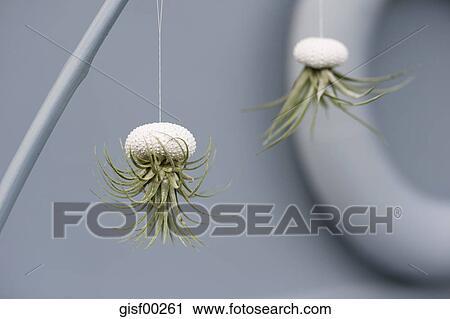 Tillandsias Air Plants In Sea Urchin Shells As Bathroom
