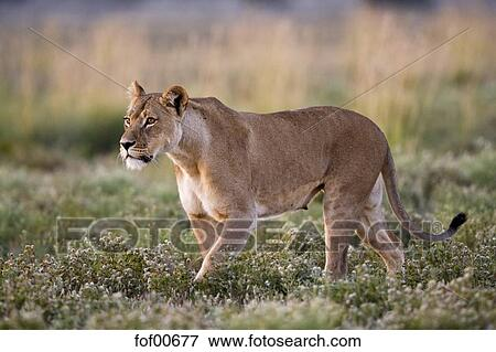 Picture Of Africa Botswana Lioness Panthera Leo Fof00677